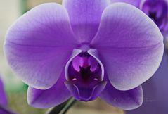 - Orchidee -