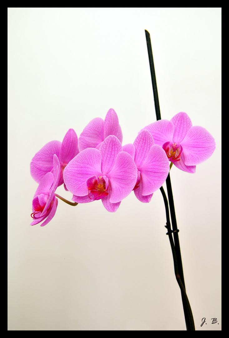 Orchidée en toute simplicité.