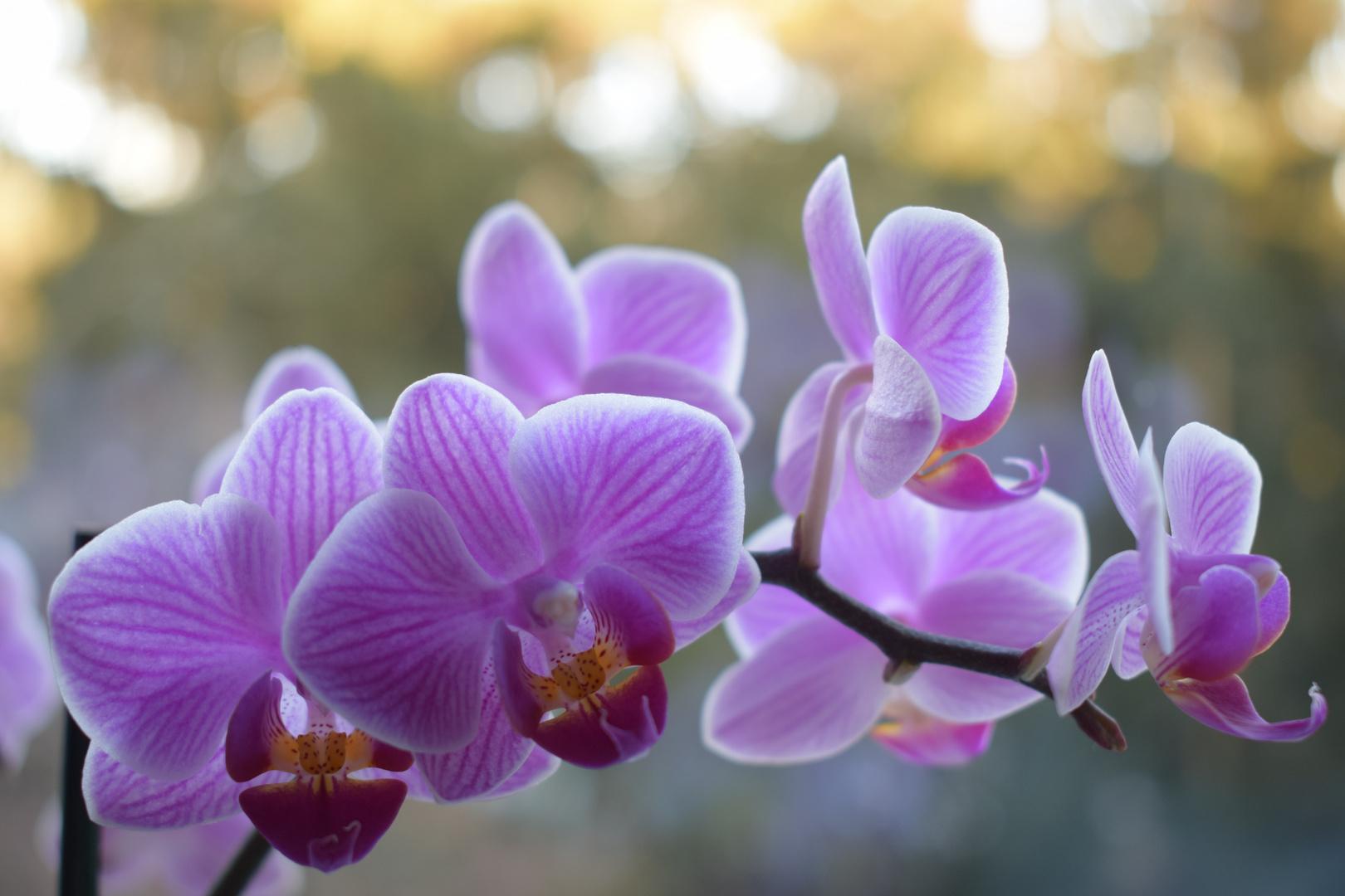 Orchidee flavor - Insta: MaximusSk
