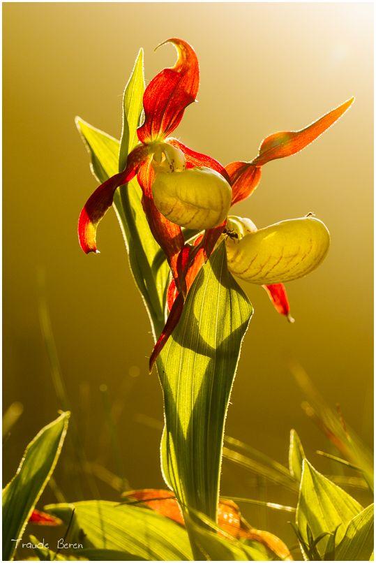 orchidee frauenschuh foto bild pflanzen pilze flechten natur makro blumen natur bilder. Black Bedroom Furniture Sets. Home Design Ideas