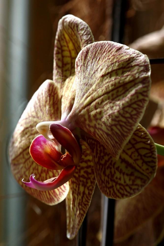 Orchidee gelfeckt