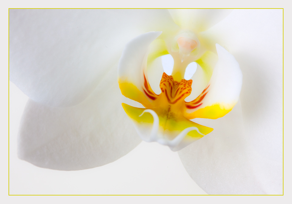 Orchidee - High Key