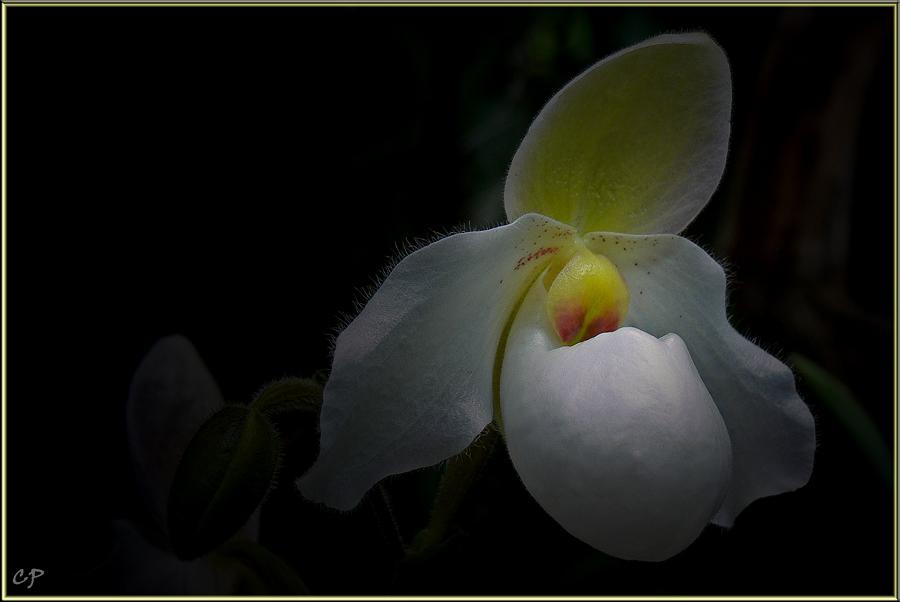 Orchidee II