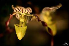 Orchidée II