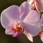 ... Orchidee im Abendlicht ...