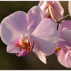 ... Orchidee im Abendlicht ... (reload)
