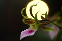 Orchidee im Gegenlicht