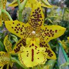 Orchidee in Gelb mit Gesicht :-)