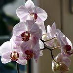 Orchidee in voller Blüte