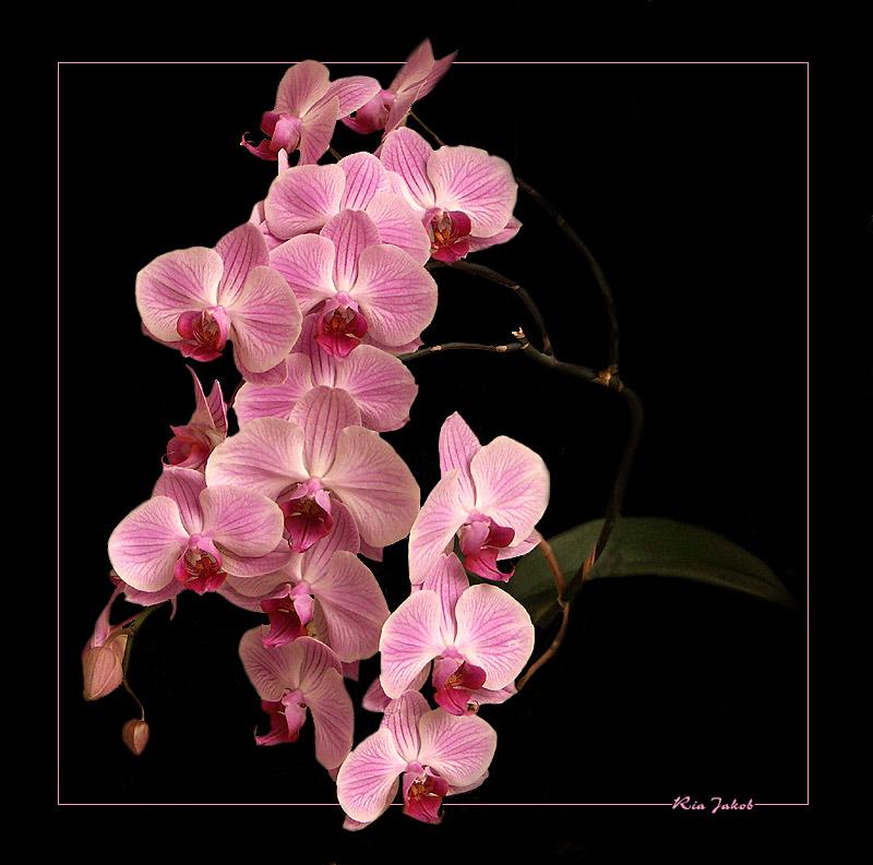 orchidee in voller pracht