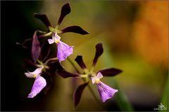 Orchidée IV