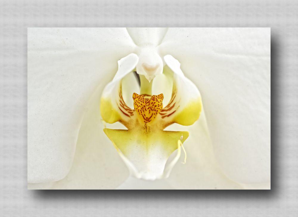 Orchidee Makro2