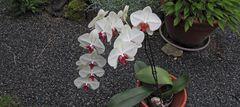 Orchidee mit Besuch, die sonst im Garten unter einem Dach am Haus steht solange es warm genug ist