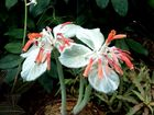 Orchidee mit Petlzüberzug