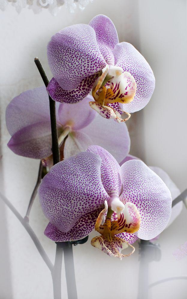 ORCHIDEE No. 3