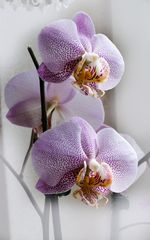 ORCHIDEE No. 3