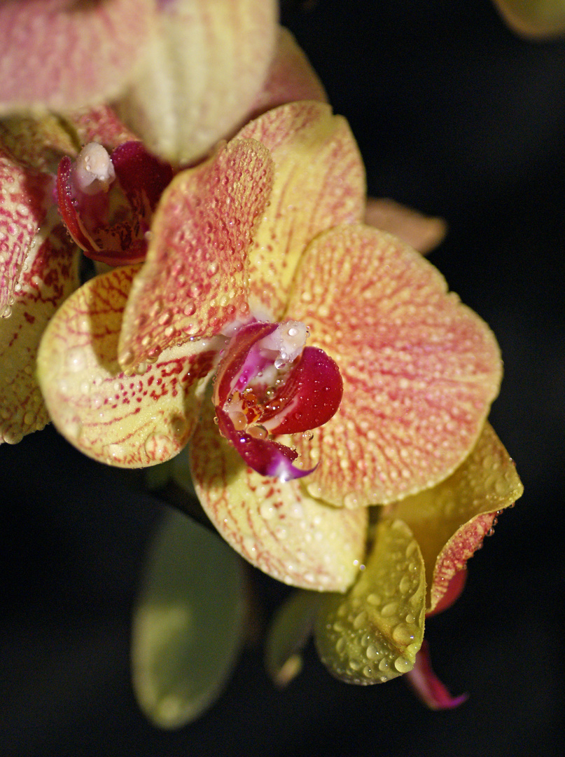 Orchidee Nr. 14