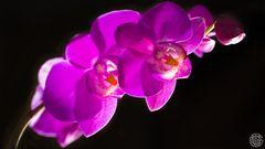 Orchidee, nur welche ?????