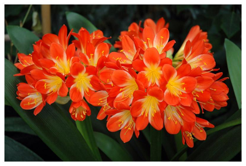 Orchidee oder Amaryllisgewächs?