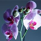 Orchidee Offenblitz