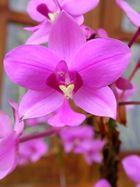 Orchidée - Orchid