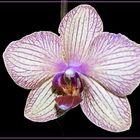 Orchidee (Phalaenopsis)