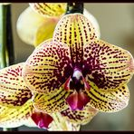 Orchidee Phalaenopsis Karih Aloha