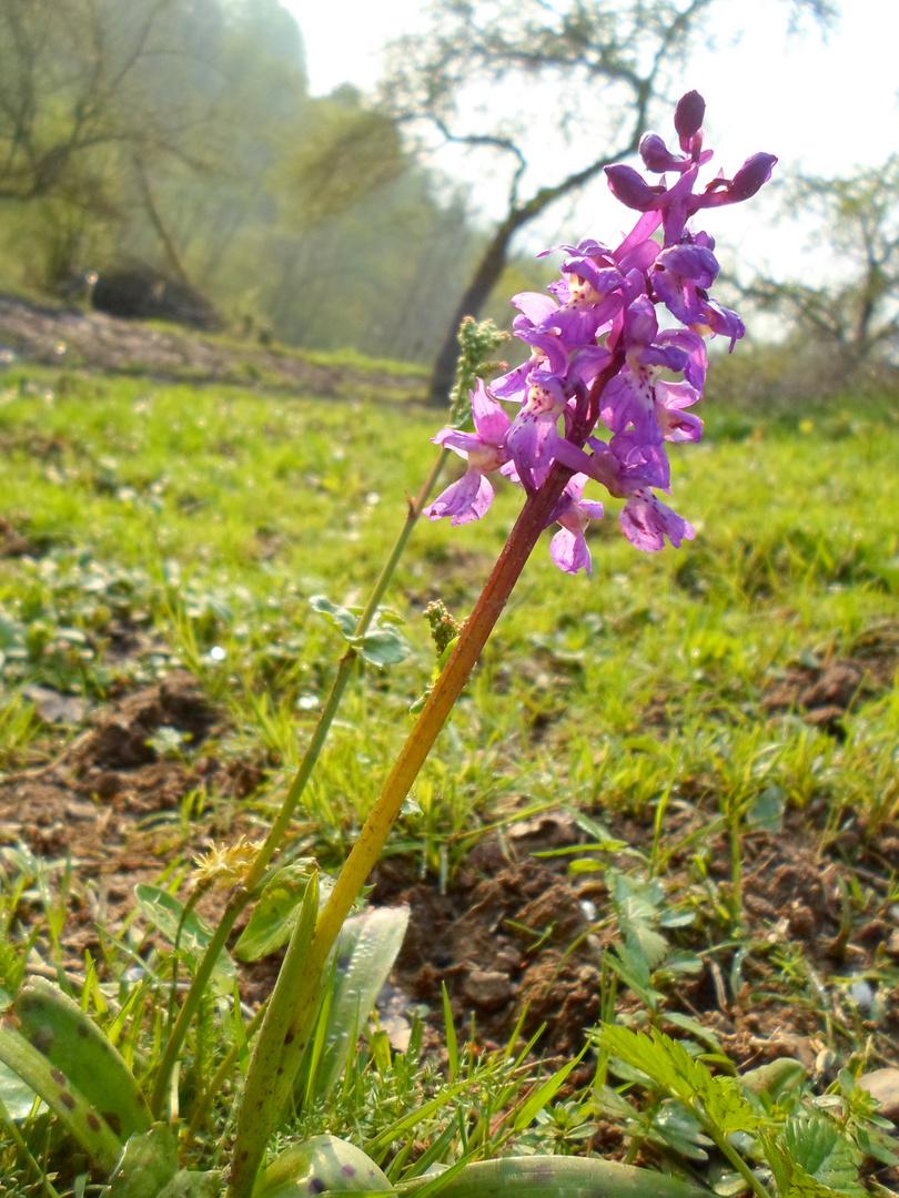 Orchidée Protégée