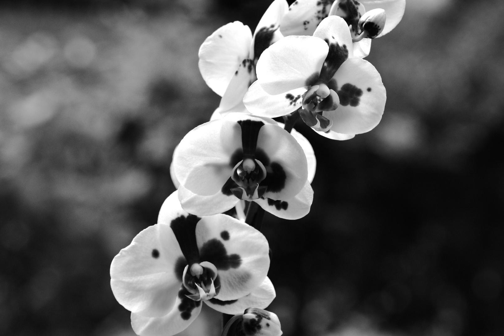 Orchidee schwarz/weiß