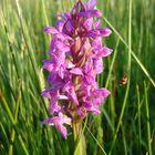 orchidee Stroomdal Drentsche Aa