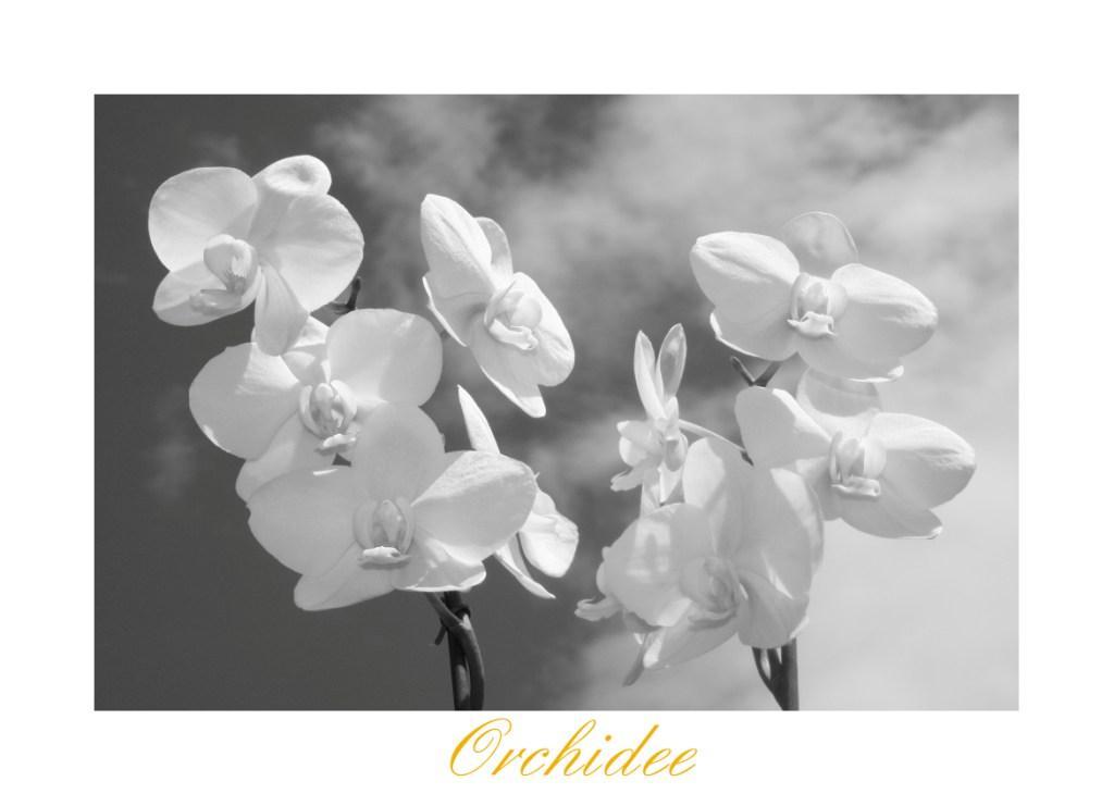 Orchidee s/w