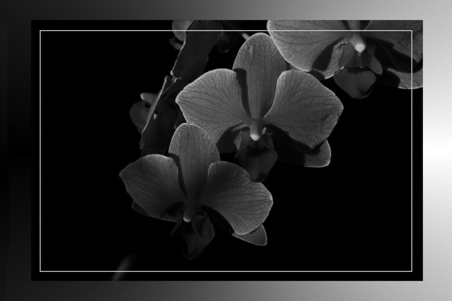 Orchidee sw