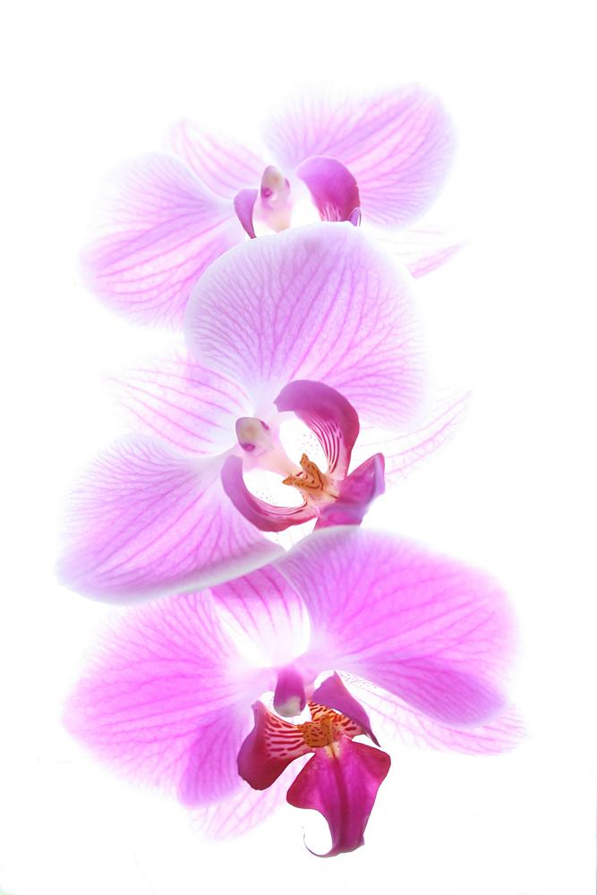 Orchidee VII