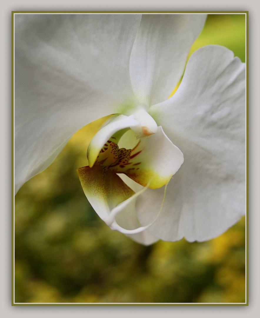 ~Orchidee XIV~