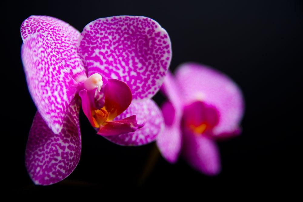 Orchidee_1