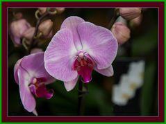 Orchidee1 in Scene gestzt