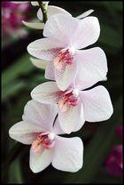 Orchidee2