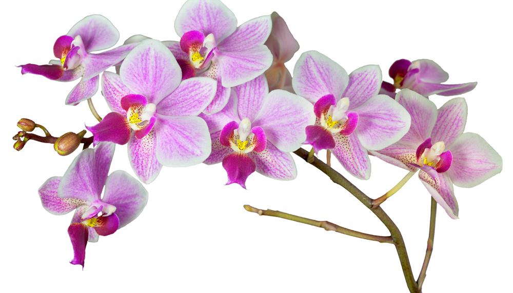 Orchideen foto bild pflanzen pilze flechten blten orchideen altavistaventures Images