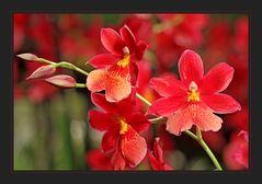 ~ Orchideen ~