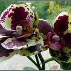 Orchideen an meinem Fenster