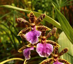 Orchideen auf der Mainau