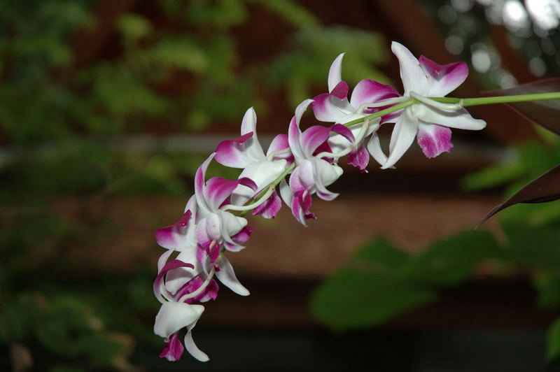 Orchideen auf Koh Samui - Thailand