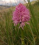 Orchideen auf Sizilien (3)
