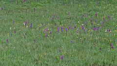 Orchideen beim Sudelfeld 2007 noch ohne das Verständnis meinerseits...