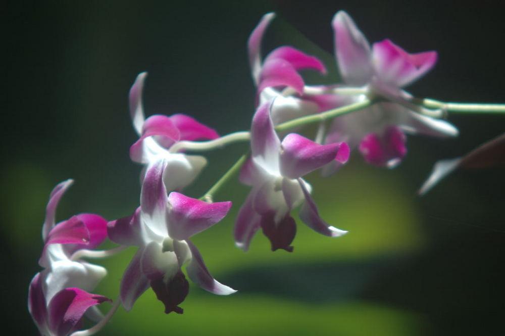 Orchideen - Blütenzauber auf Koh Samui - Thailand