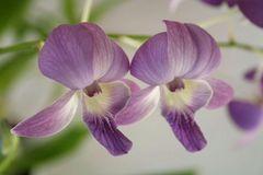 Orchideen Dendrobium