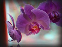 Orchideen im Fenster