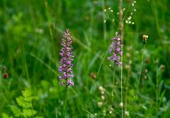 Orchideen in der Wiese