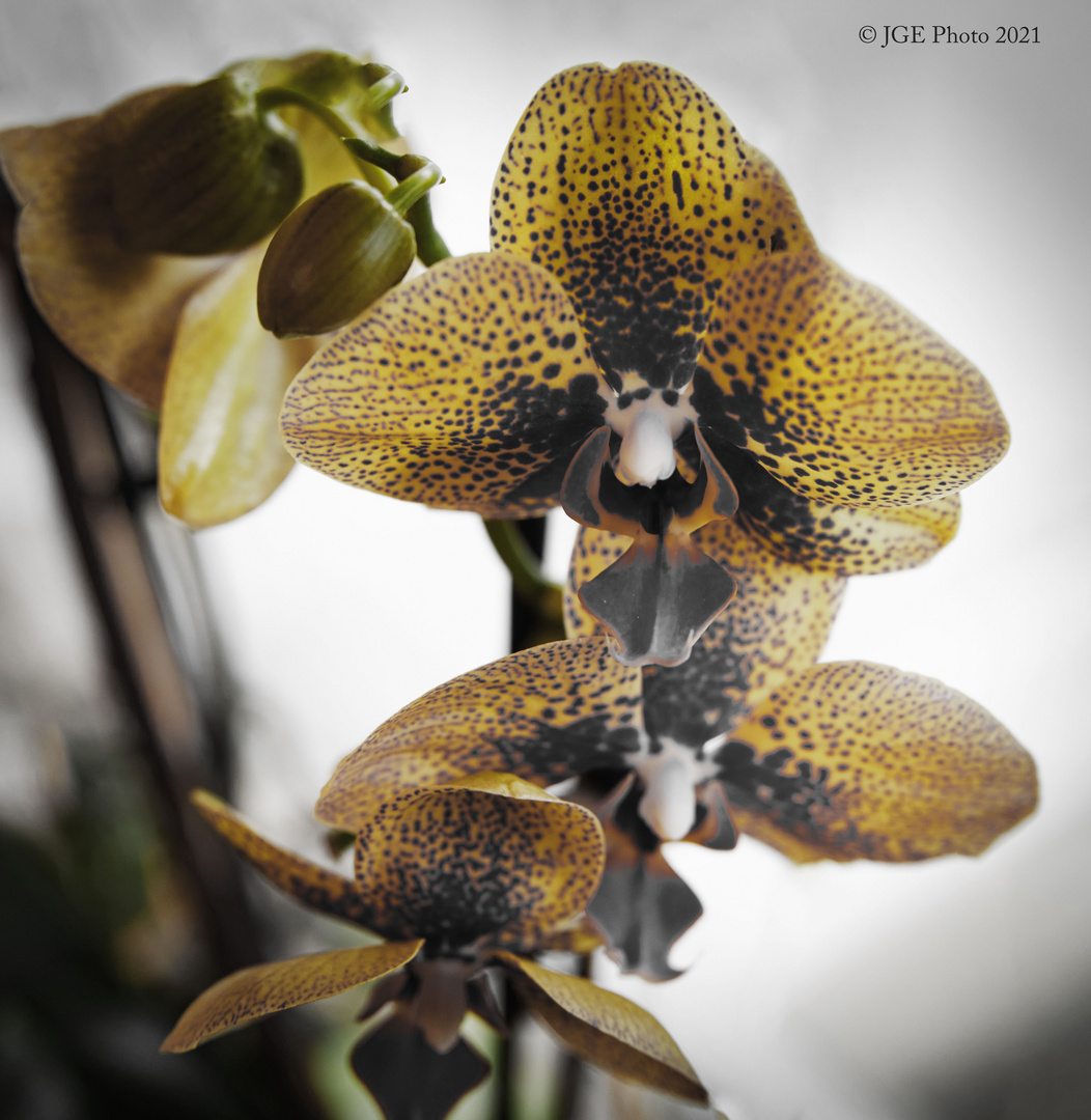 Orchideen in Pastell-Farben