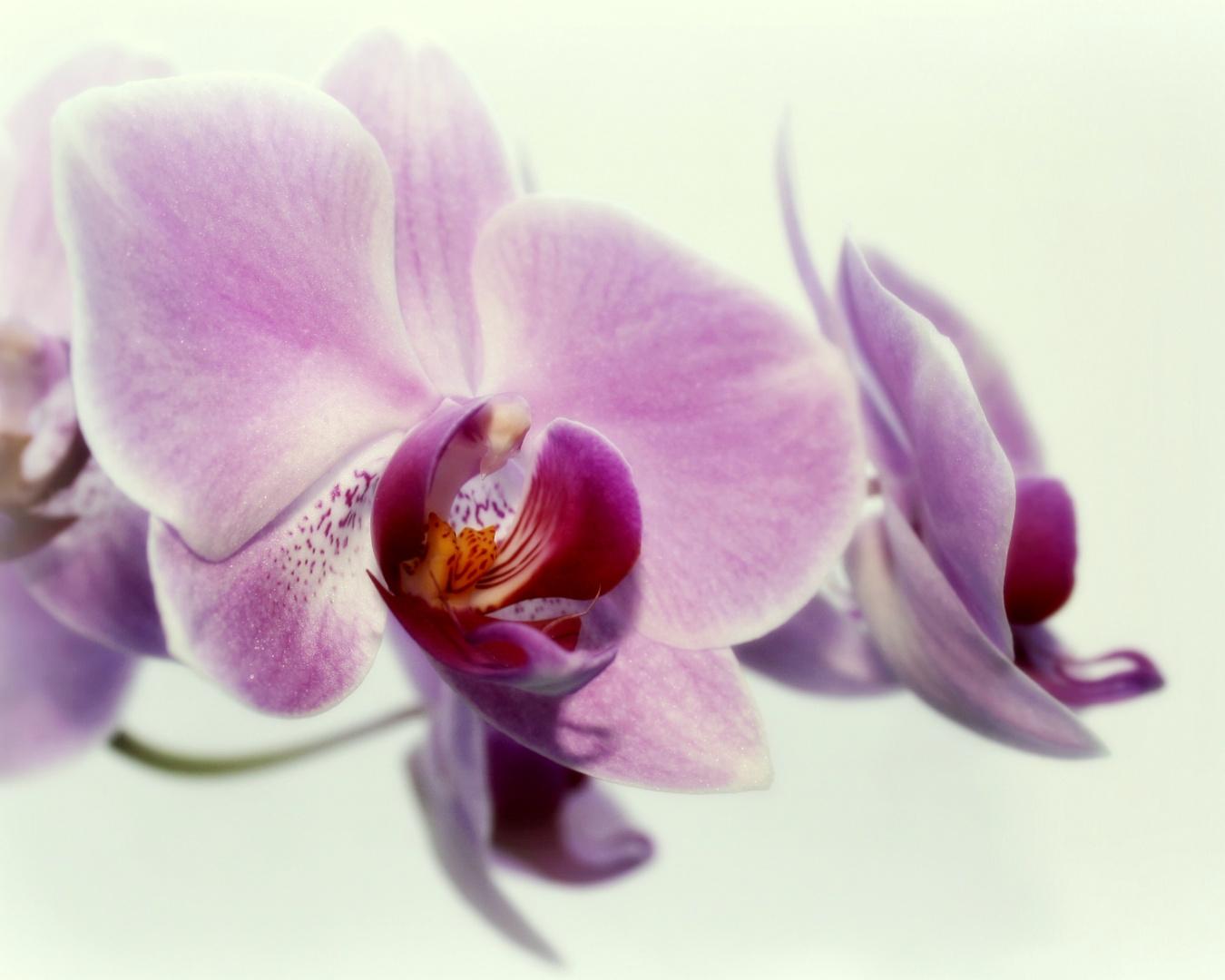 ~Orchideen IX~